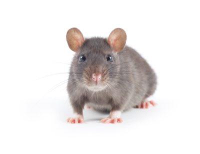 MBM Extermination Gestion Parasitaire souris grise