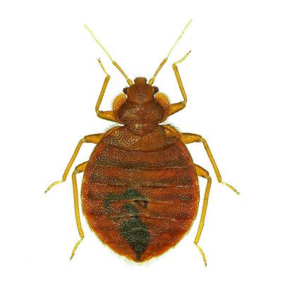 bed bugs punaises MBM Extermination Gestion Parasitaire