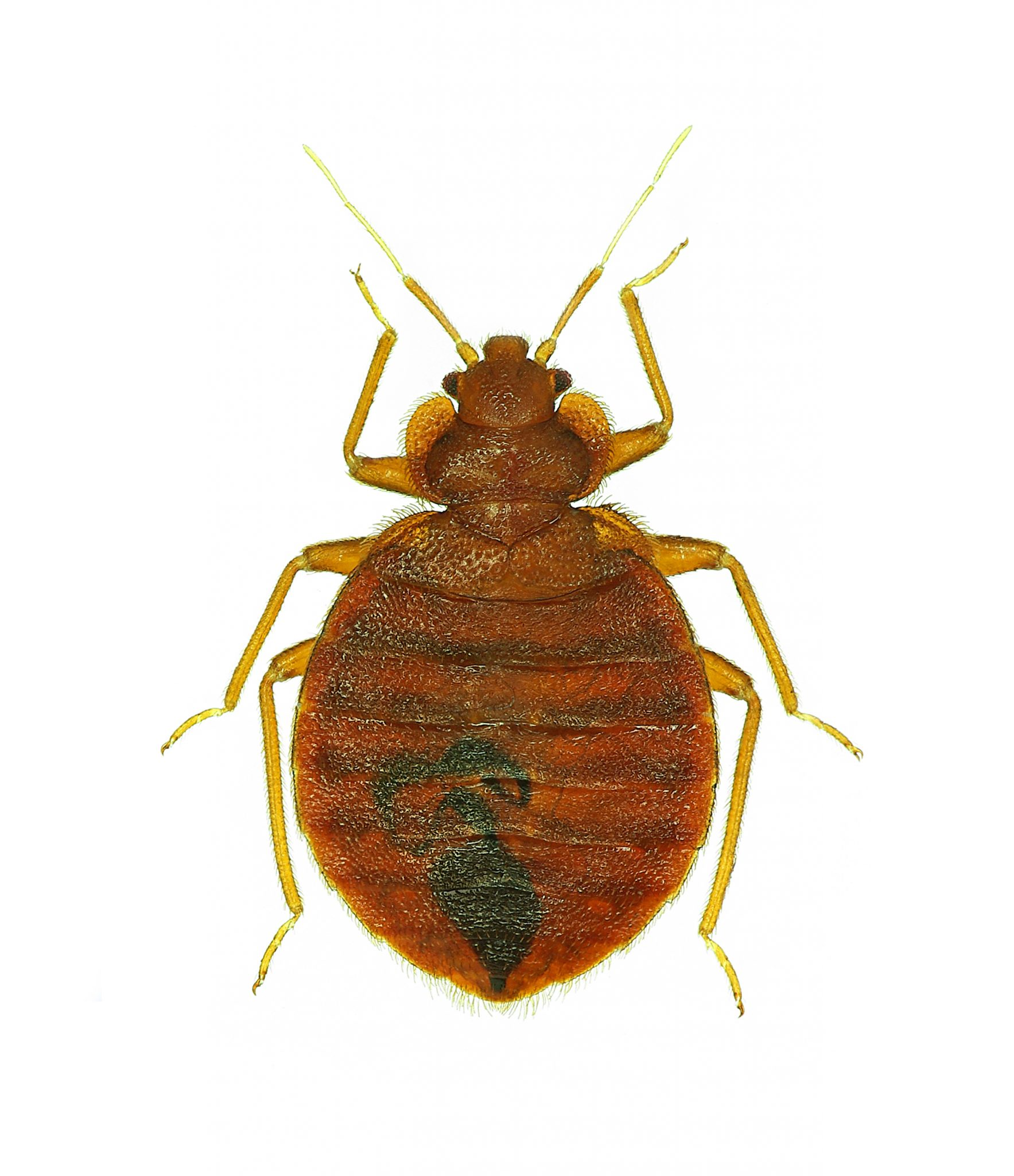 pictures of bed bugs - HD900×1043
