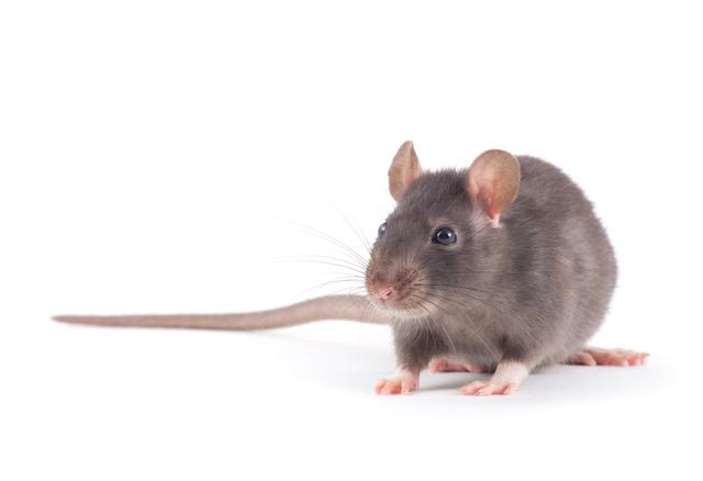 Rat MBM Extermination Gestion Parasitaire
