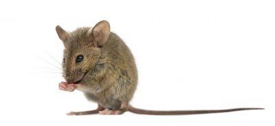 Souris-domestique-MBM-Gestion-Parasitaire-Extermination-Rongeurs-infestation