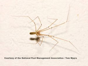 cellar-spider-cave-araignees-mbm
