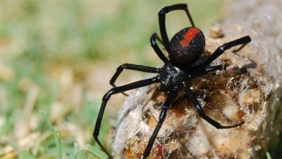 veuve-noire-quebeca
